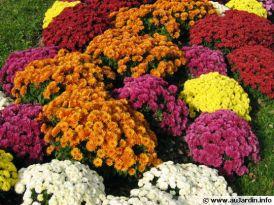 chrysanthemum-hortorum-540x405