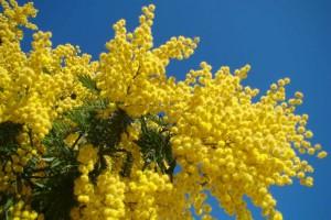 mimosas-300x200.jpg
